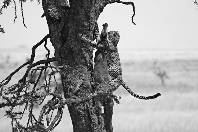 Příběh dvou leopardů: Úryvek z knihy The Quick and the Dead